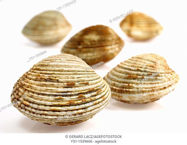 Clam, venus verrucosa, Shells against White Background