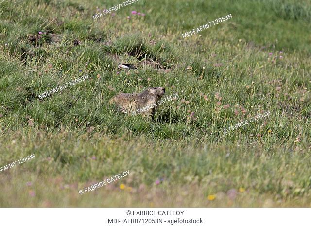 Nature - Fauna - Marmot - A marmot is attacked by a bird defending its nest