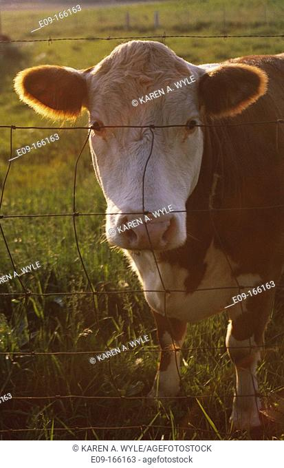 Cow with white muzzle, backlit by sun, looking through wire fence from pasture