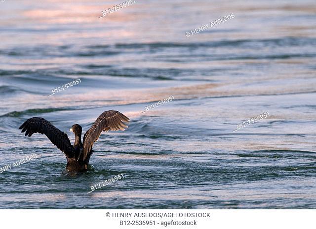 Cormorant - Phalacrocorax carbo - Netherlands