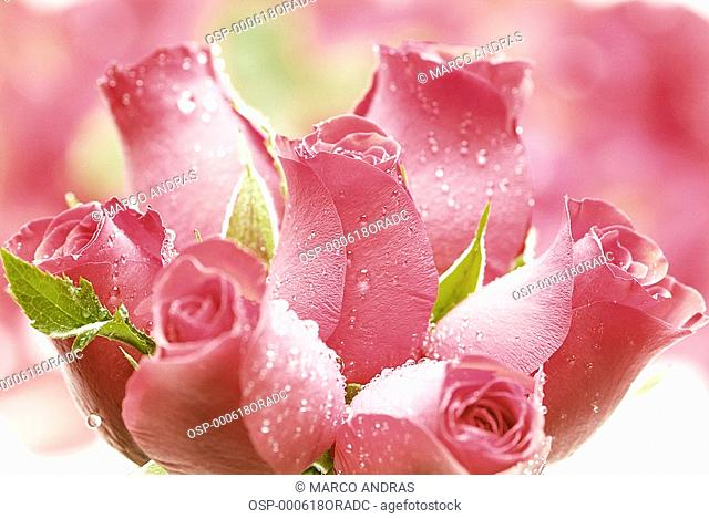 a pink roses buds flowers bouquet