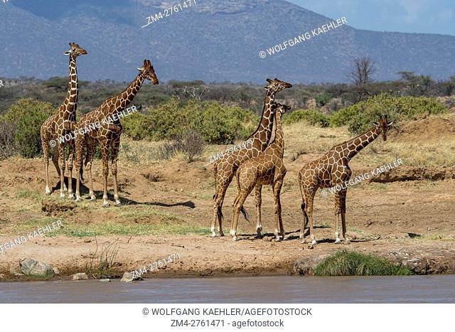Reticulated giraffes (Giraffa reticulata) in the Samburu National Reserve in Kenya coming to the Ewaso Ngiro River to drink