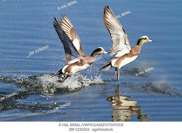 Pair of American Wigeon DUck males take off with a splash.(Anas americana).Bolsa Chica Wetlands,California