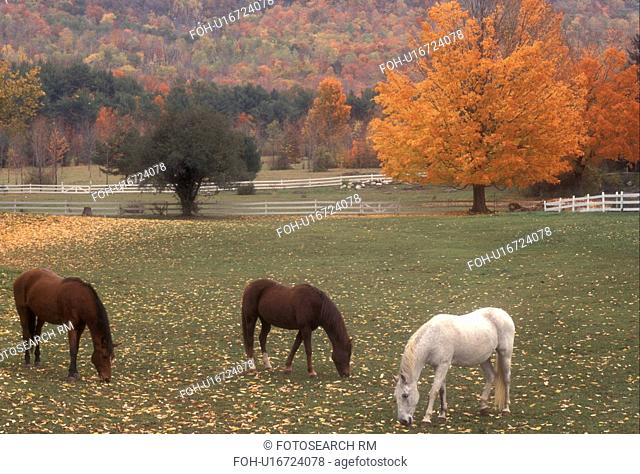 horse, fall, pasture, Dorset, VT, Vermont, Three horses grazing in a pasture surrounded by colorful foliage in autumn in Dorset