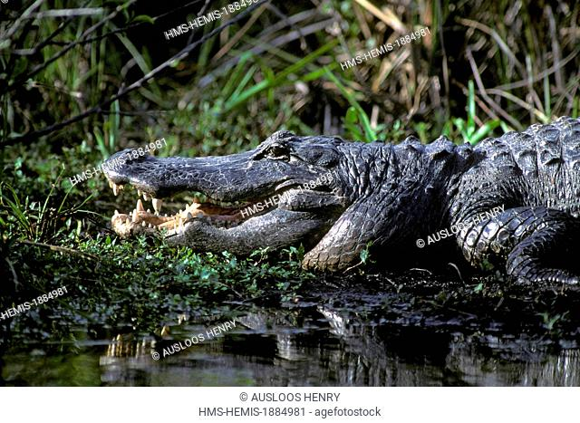 United States, Florida, Evergaldes National Park, Alligator (Alligator mississipiensis) open mouth