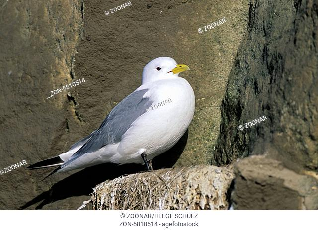 Dreizehenmoewe im Brutkleid sitzt auf einem Felsvorsprung am Vogelfelsen / Black-legged Kittiwake in breeding plumage sitting on a ledge at a bird rock -...