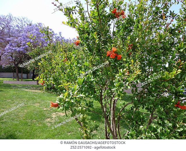 Pomegranate flower (Punica granatum). Catalonia, Spain