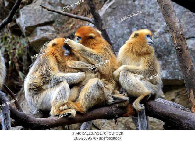 Asia, China, Shaanxi province, Qinling Mountains, Golden Snub-nosed Monkey (Rhinopithecus roxellana), group on a tree