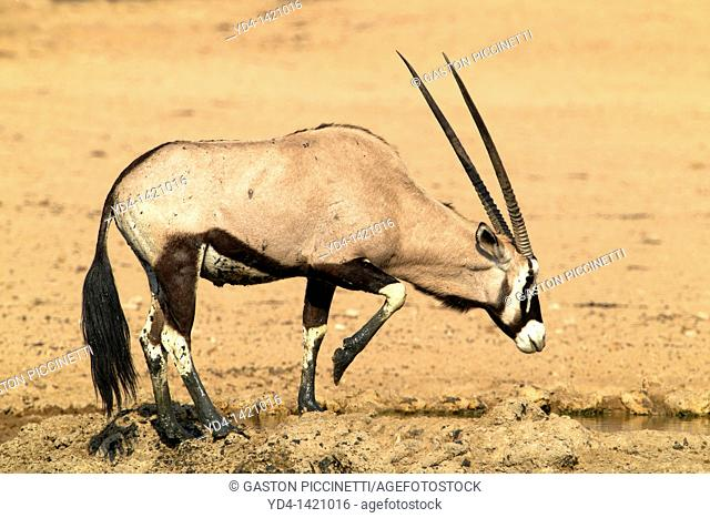 Gemsbok Oryx gazella, in the waterhole, Kgalagadi Transfrontier Park, Kalahari desert, South Africa
