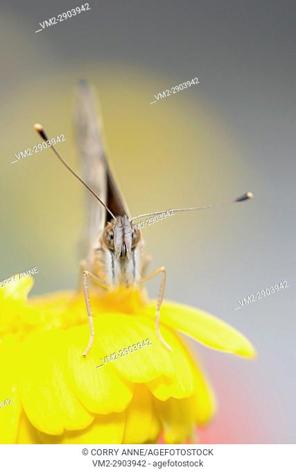The face of a sad looking Painted Lady butterfly on a bright yellow flower. Shallow depth of field - Fraser Valley, British Columbia Canada
