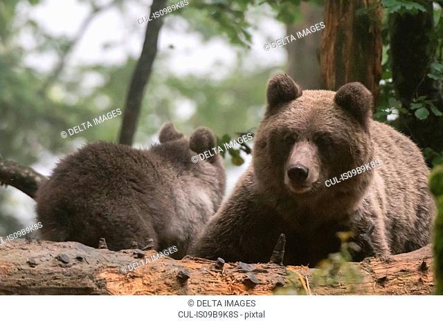 Two european brown bears (Ursus arctos) in Notranjska forest, Slovenia