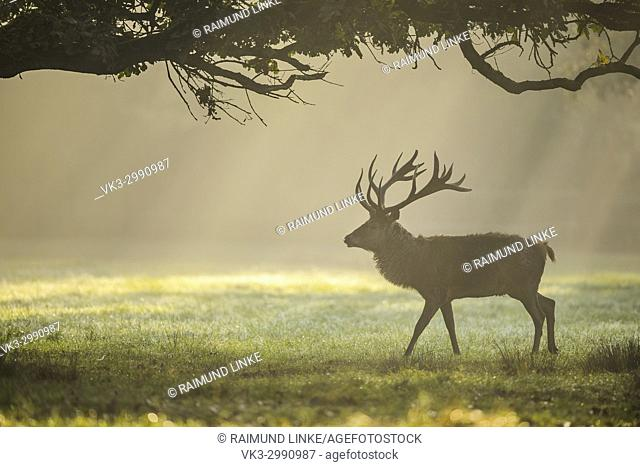 Red deer, Cervus elaphus, Male, in Rutting Season with Morning Mist, Europe