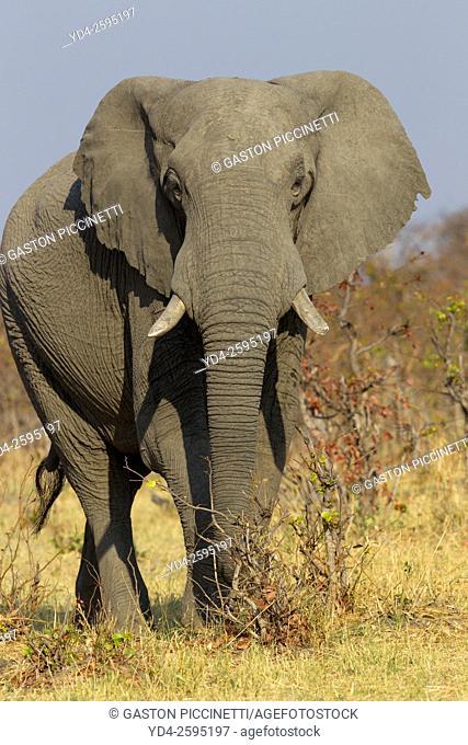 African Elephant (Loxodonta africana), in the Savuti marsh. Chobe National Park, Botswana