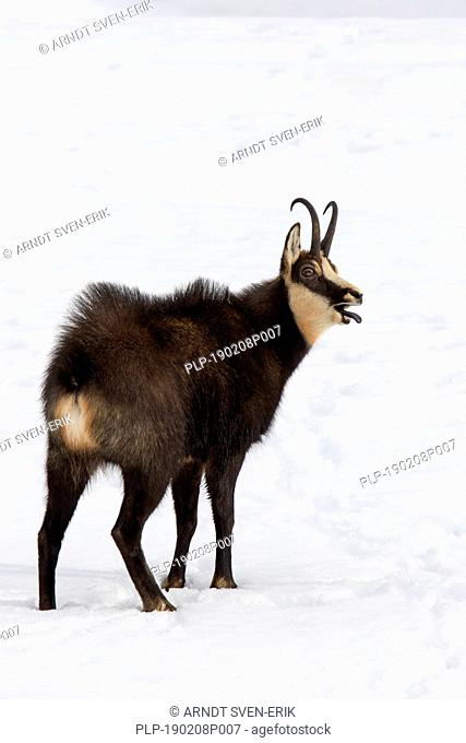 Chamois (Rupicapra rupicapra) male with back hairs raised calling in the snow in winter during the rut in the European Alps