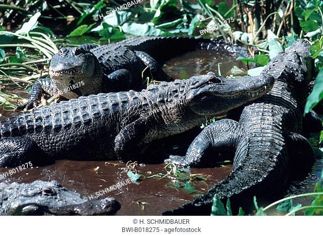 American alligator (Alligator mississippiensis), lying in water, USA, Florida, Everglades National Park