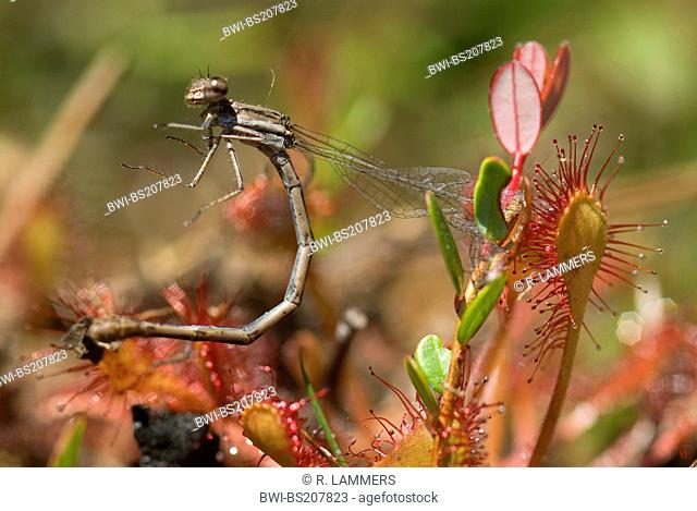 long-leaved sundew, oblong-leaved sundew, spoon-leaved sundew (Drosera intermedia), dragonfly on sundew deadley trap, Canada, Nova Scotia