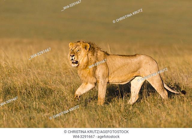 Male Lion (Panthera leo) walking in grass, Maasai Mara National Reserve, Kenya, Africa