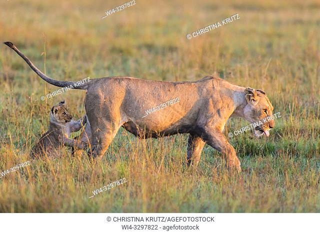 African Lion (Panthera leo) female with cub, Maasai Mara National Reserve, Kenya, Africa