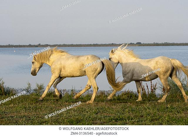 Two Camargue stallions on the shore of a lake in the Camargue in southern France