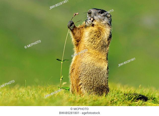 alpine marmot Marmota marmota, standing upright and eating a blossom, Austria, Hohe Tauern National Park