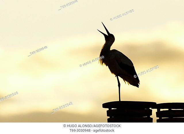 White stork (Ciconia ciconia), Alfaro, La Rioja, Spain