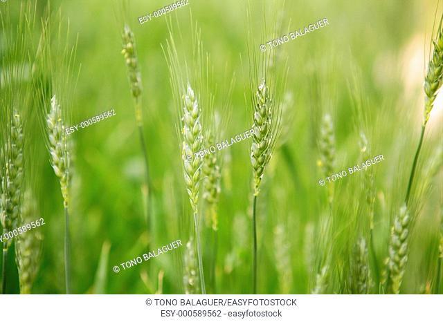 Oat Sativa cereal green field macro detail