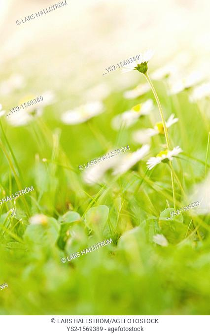 Flowers on a field, one rising above the others
