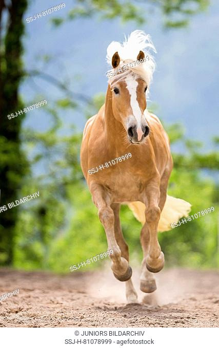 Haflinger Horse. Mare galloping, seen head-on. South Tyrol, Italy