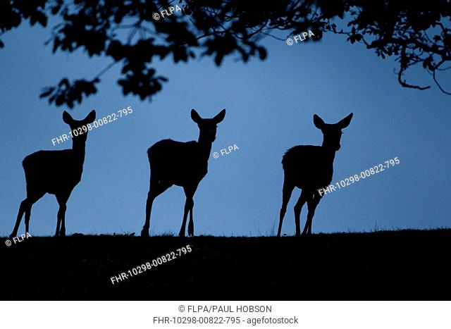 Red Deer Cervus elaphus three hinds, silhouetted at dusk, during rutting season, Bradgate Park, Leicestershire, England, november