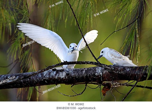 White tern (Gygis alba), adult bird brings food for the nearly fledges juvenile bird, Seychelles, Bird Island