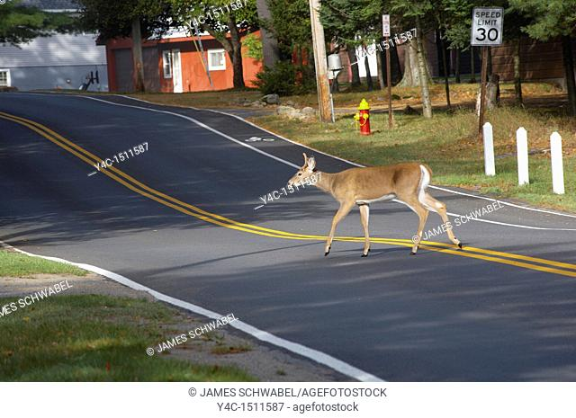 Deer crossing road in town of Old Forge in the Adirondack Mounatin region of New York State