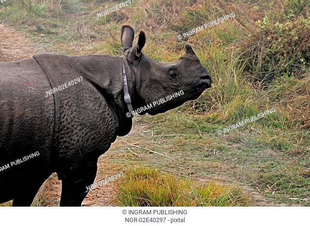 Radio tracking rhino in Chitawan NP