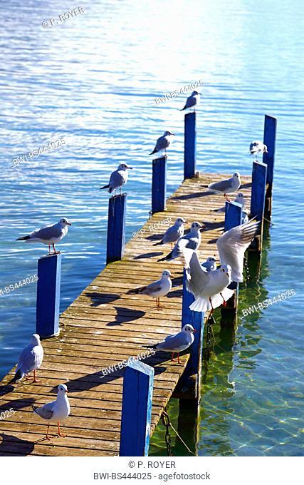 black-headed gull (Larus ridibundus, Chroicocephalus ridibundus), troop of gulls on a pontoon at the Lake Annecy , France, Haute-Savoie, Annecy