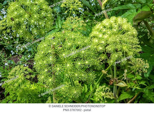 France, Loire-et-Cher, Domaine de Chaumont-sur-Loire, labelled Remarkable Garden, kitchen garden, wild celery (angelica archangelica)