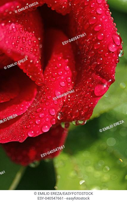 Droplets on rose flower