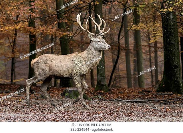 Red Deer (Cervus elaphus). Stag walking in forest. Germany