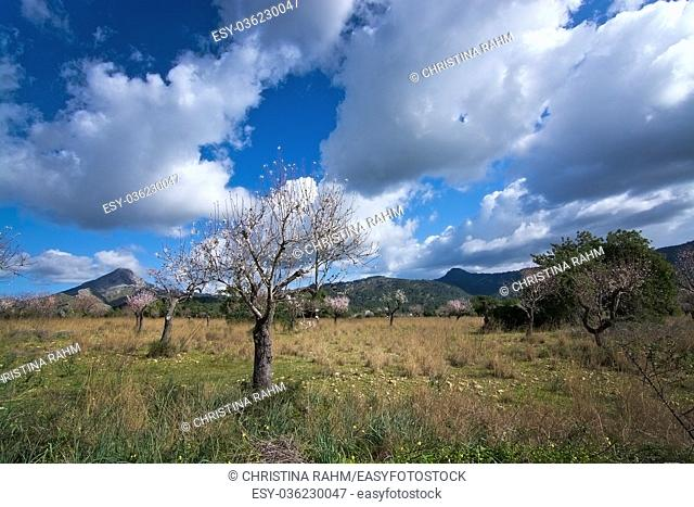 Blossoming almond trees in rural landscape with blue sky in Mallorca, Balearic islands, Spain in February