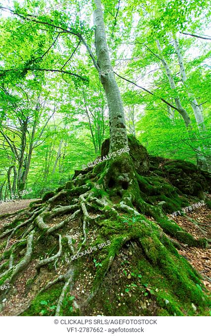 Europe,Italy,Marche,Fermo district, Montefortino,beech forest in the national park of the Sibillini mountains
