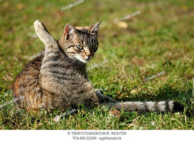 preening cat