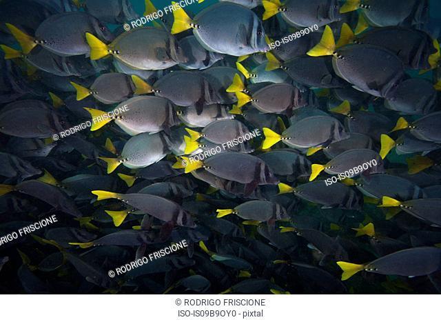 School of surgeon fish, Seymour, Galapagos, Ecuador, South America