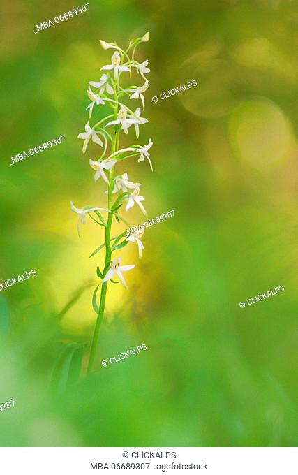 Platanthera bifolia, Piedmont, Mongiardino, Italy