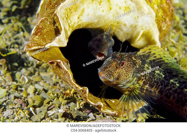 Ringneck Blenny (Parablennius pilicornis) in Trumpet shell (Charonia lampas). Eastern Atlantic. Galicia. Spain. Europe