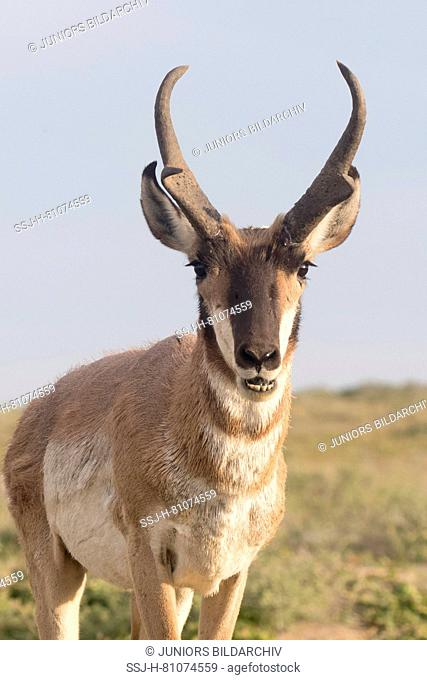 Baja California Pronghorn (Antilocapa americana peninsularis). Portrait of adult male. The wild population is estimated at 200