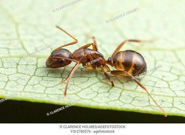 A Carpenter Ant (Camponotus subbarbatus) forages on the surface of a leaf