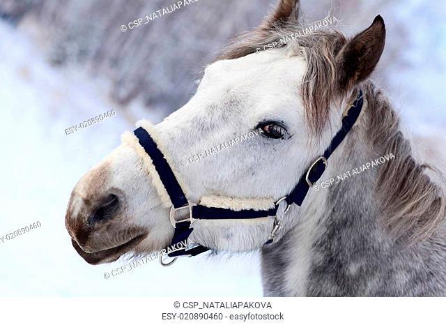 gray horse's head close up
