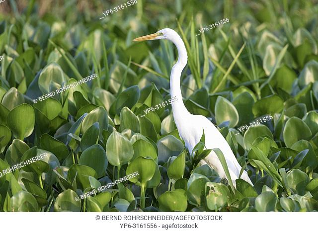 Great egret (Ardea alba), adult standing in water plants, Pantanal, Mato Grosso, Brazil
