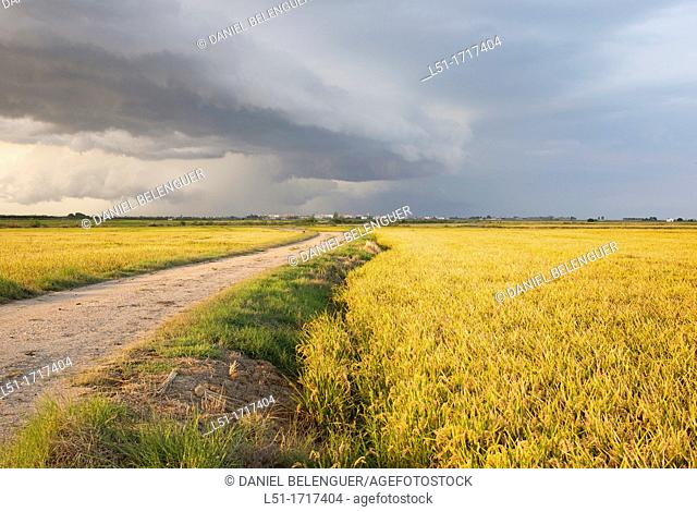 track between the rice fields near Sueca, Albufera de Valencia Nature Reserve , Valencia, Spain