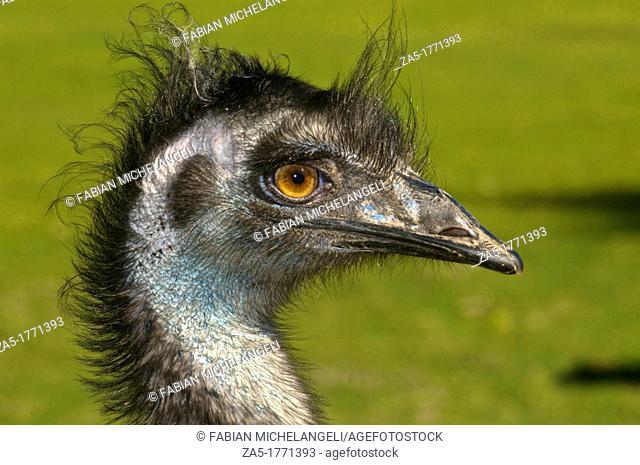 Emu, Dromaius novaehollandiae head portrait in Koala Sanctuary  Brisbane, QLD, Australia