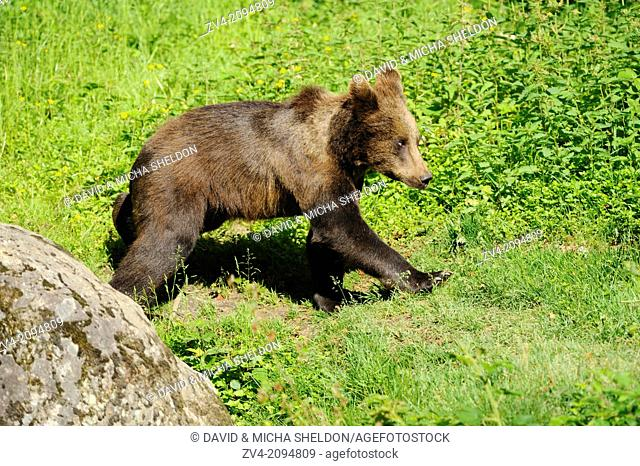 Close-up of a brown bear (Ursus arctos) youngster in a meadow in the Bavarian Forest, Germany