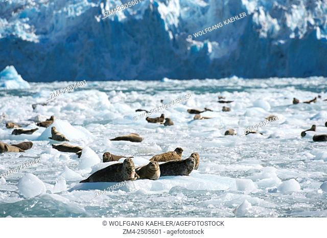 Harbor seals (Phoca vitulina) resting on icebergs in front of the LeConte Glacier, a tidal glacier in LeConte Bay named in honor of the Californian biologist...